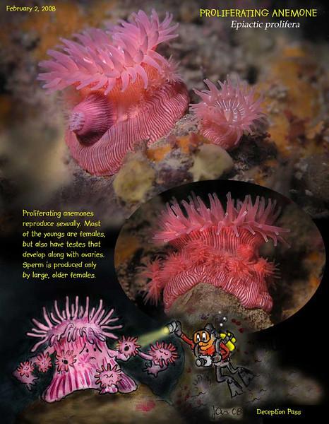 Proliferating anemone S.jpg