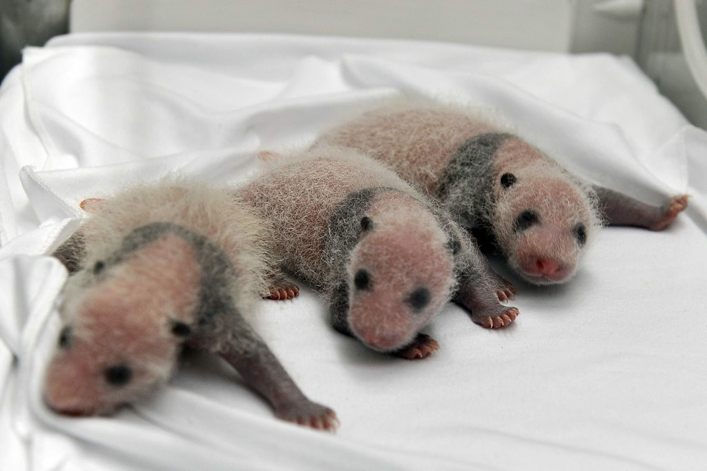 """. 10. (tie) PANDA TRIPLETS <p>About two weeks old, and already more mature than Justin Bieber. (5) </p><p><b><a href=\""""http://www.twincities.com/life/ci_26320884/china-announces-birth-rare-panda-triplets\"""" target=\""""_blank\""""> LINK </a></b> </p><p>   (AP Photo)</p>"""