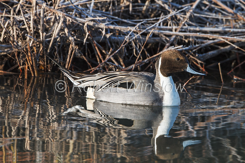 Northern Pintail, Anas acuta, Bosque del Apache National Wildlife Refuge, New Mexico, USA, North America