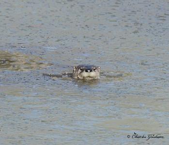 Otter in north Alabama