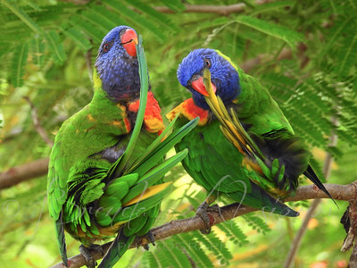 Other Australian Birds