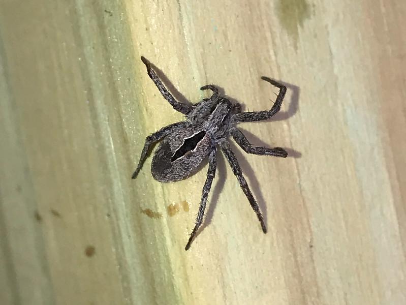 Thanatus formicinus Diamond Spider on Warren Woessner Bog Boardwalk at Warren Nelson Memorial Bog Sax-Zim Bog MN  IMG_4771.jpg