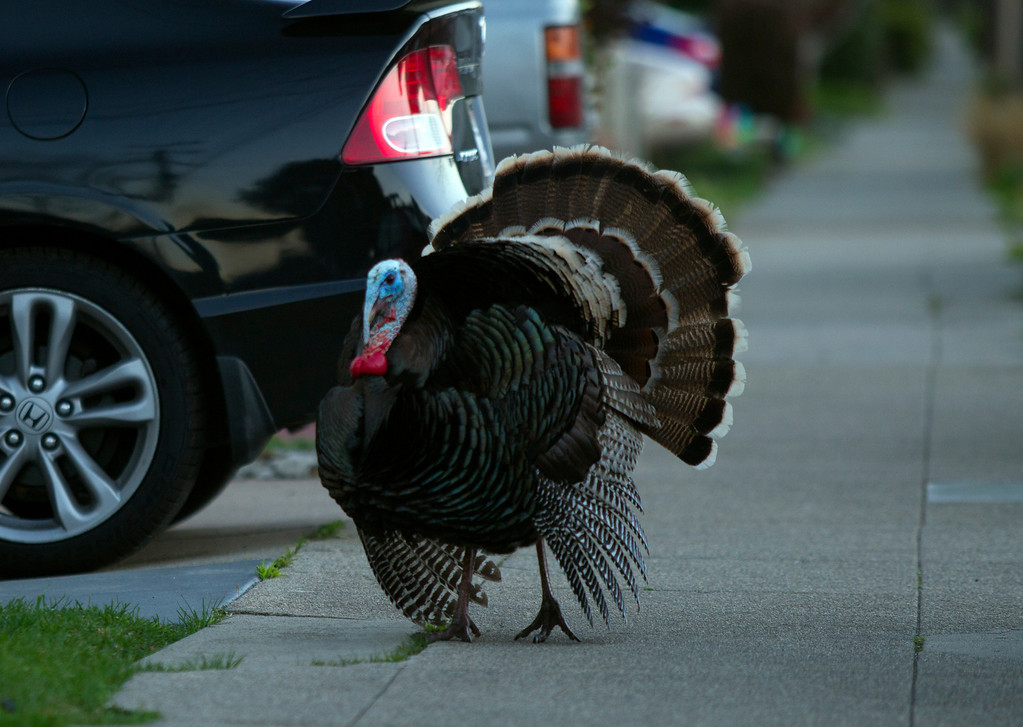 . In full display mode, a male wild turkey meanders along Cornell Avenue, Sunday, Feb. 24, 2013 in Albany, Calif. Neighbors are requesting that the city do something about the birds, a flock of which have taken up residence in an area tree. (D. Ross Cameron/Staff)