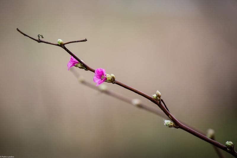 Salmonberry.jpg