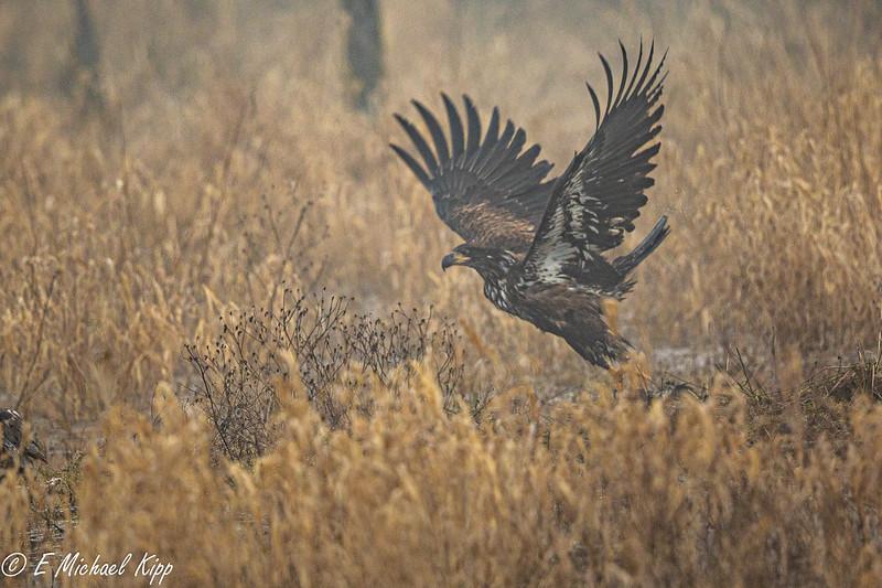 Bald Eagle - Immature K5D40902.jpg