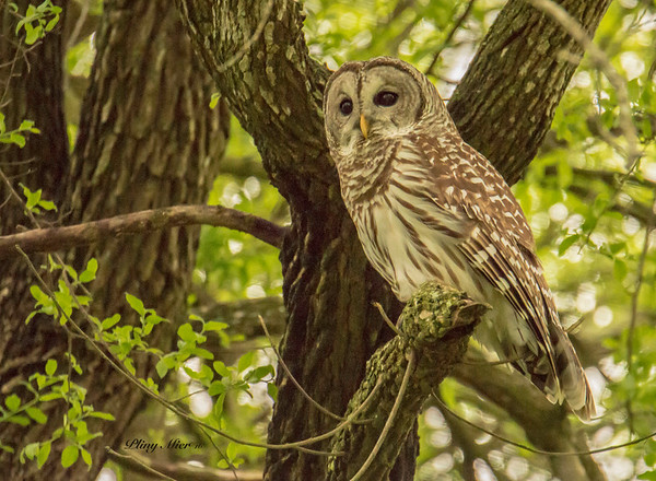 Barred Owl_DWL0053.jpg