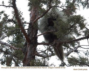 Porcupine54162.jpg