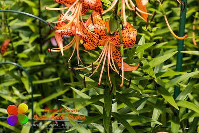 tiger lily blooms point downward which provides some slight protection from the elements