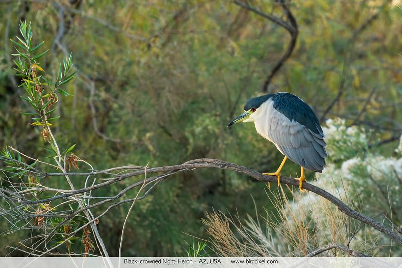 Black-crowned Night-Heron - AZ, USA
