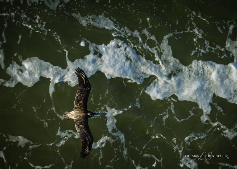 LS - Brown Pelican - 1.jpg