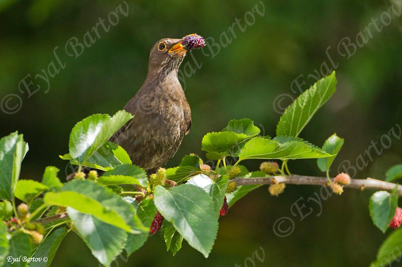 שחרור - Common Blackbird (Turdus merula) 3