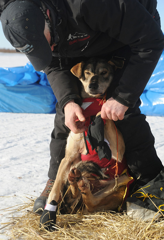 . Iditarod musher Jeff King, from Denali, Alaska, puts booties on his dog�s feet on the frozen Fish River as he prepares to leave in first place from the White Mountain checkpoint during the 2014 Iditarod Trail Sled Dog Race on Monday, March 10, 2014. (AP Photo/The Anchorage Daily News, Bob Hallinen)