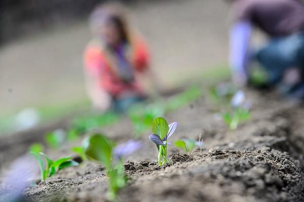 Planting leafy greens - 042021