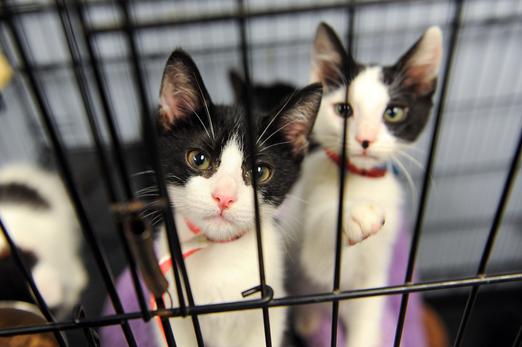 . Tuxedo kittens available for adoption at Best Friends Pet Adoption in Mission Hills, Wednesday, July 3, 2013. (Michael Owen Baker/L.A. Daily News)