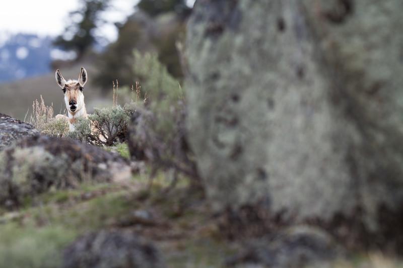 Pronghorn Yellowstone National Park WY IMG_7311.jpg