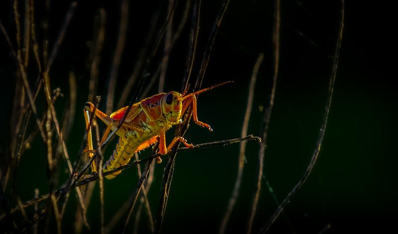 Grasshoppers 79.jpg