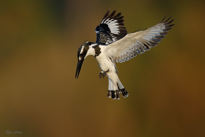 Pied Kingfishers hovering MASTER.jpg