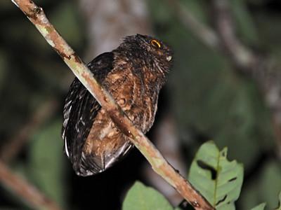 Northern Tawny-bellied Screech-Owl