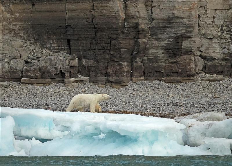 Polar Bear at prince Leopold Island