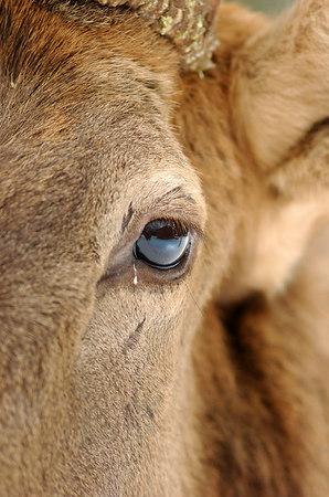 Fred the Bull Elk