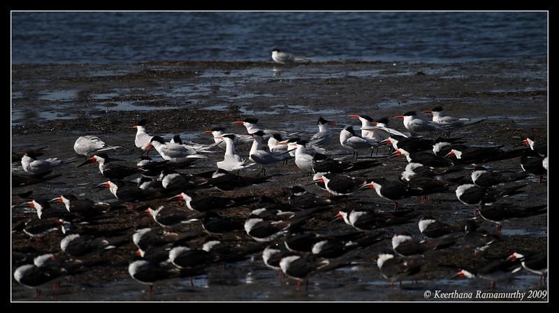 Assorted Terns & Black Skimmers, Robb Field, San Diego River, San Diego County, California, April 2009