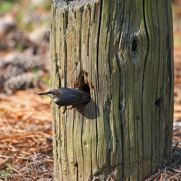 Brown-headed Nuthatch leaving nest hole in parking lot post - Alexander State Forest near Alexander, LA