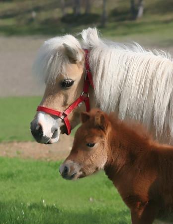 Cascade Arabian & Miniature Horses
