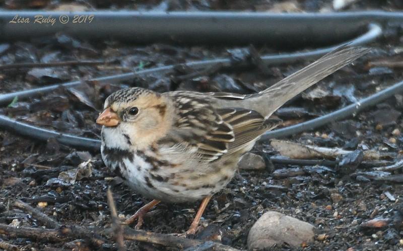 Harris's Sparrow -  2/6/2019 - Backyard Sabre Springs