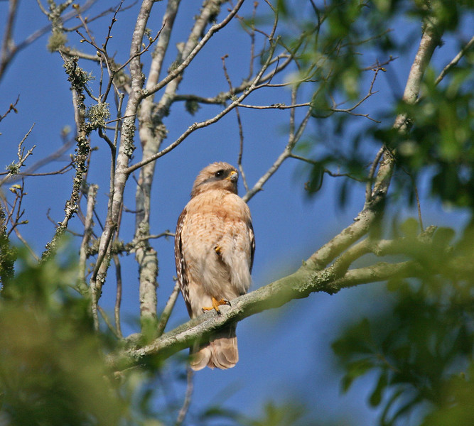 Red-shouldered Hawk - Lake Fausse Point SP - St. Martinsville, LA