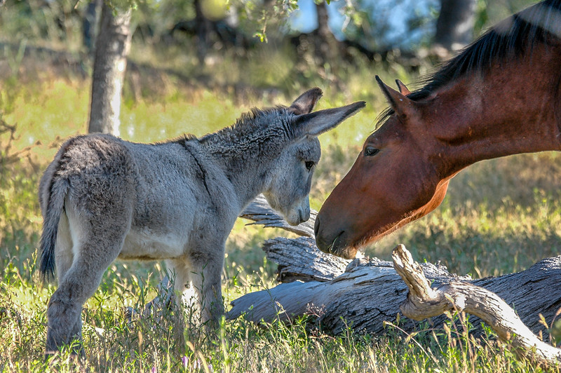Wild Horse and Wild Burro Foal
