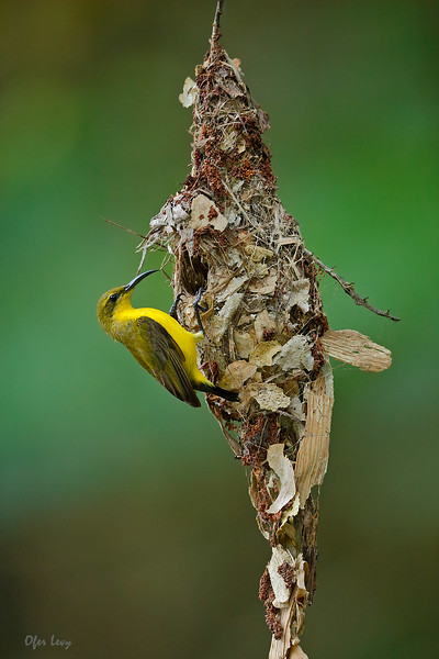 Olive-backed Sunbird female.jpg