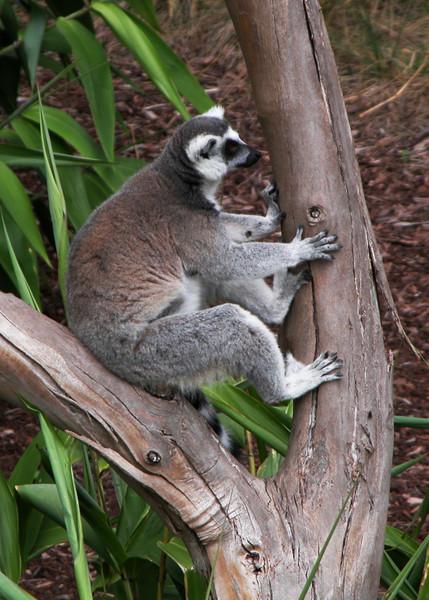 RINGTAILED LEMUR - MADAGASCAR