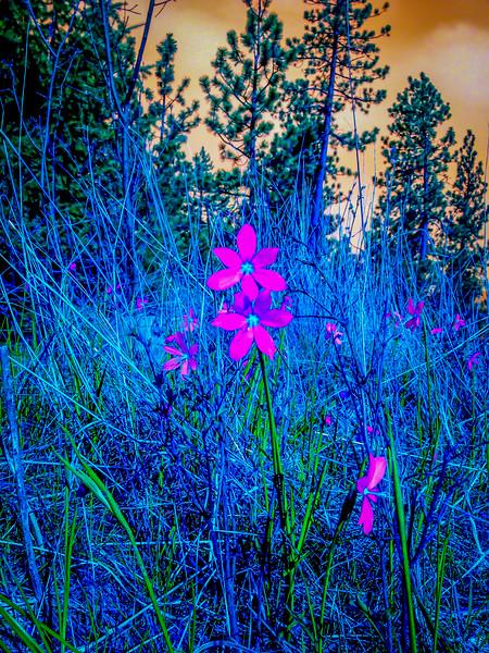 shooting-star-flower-5709