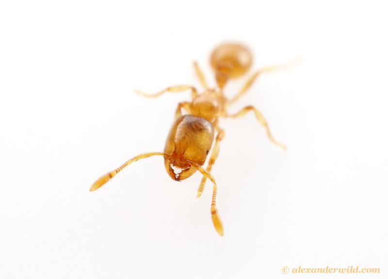 Solenopsis molesta - thief ant. Note the two-segmented antennal club, diagnostic for the genus.  Urbana, Illinois, USA