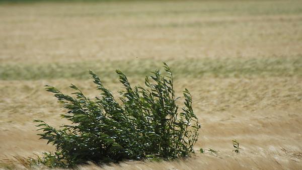 Weeds in crops