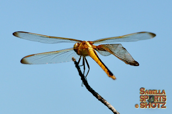 Dragonflies of the Outer Banks, NC