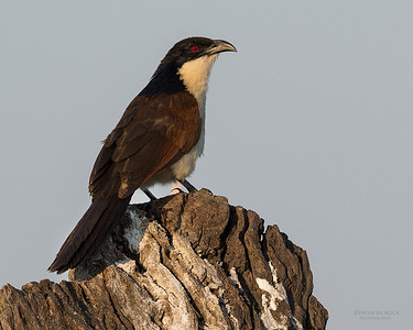 Coppery-tailed Coucal (Centropus cupreicaudus)