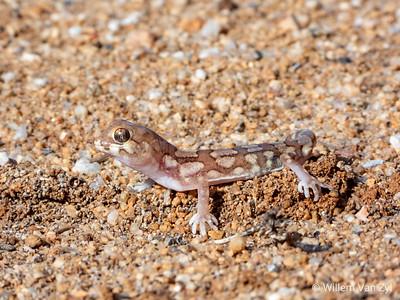 Namaqua Banded Gecko (Pachydactylus amoenus)