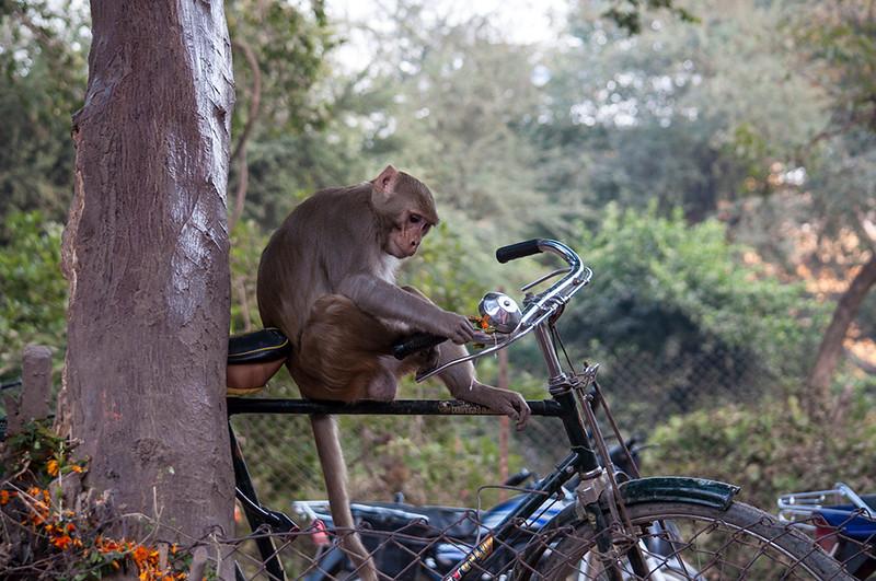 Varanasi-MonkeyOnCycle.jpg