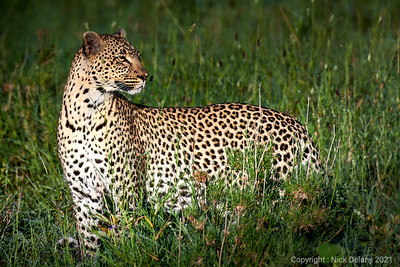 Leopardess returning from the hunt
