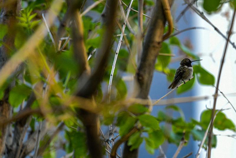 21MayHummingbirds (38 of 53).jpg