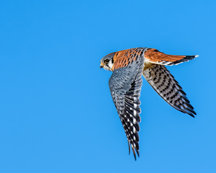 Kestrel Flying-8560.jpg