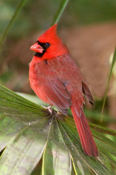 Cardinal - Northern - male - Jekyll Island, GA - 02