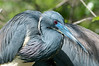 Closeup of a Tri-colored Heron at the Alligator Farm #1 02/14