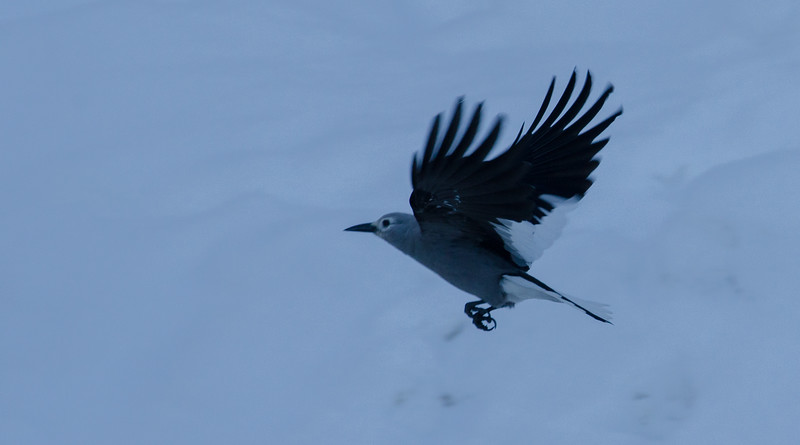 Steller, Grey and Blue Jays