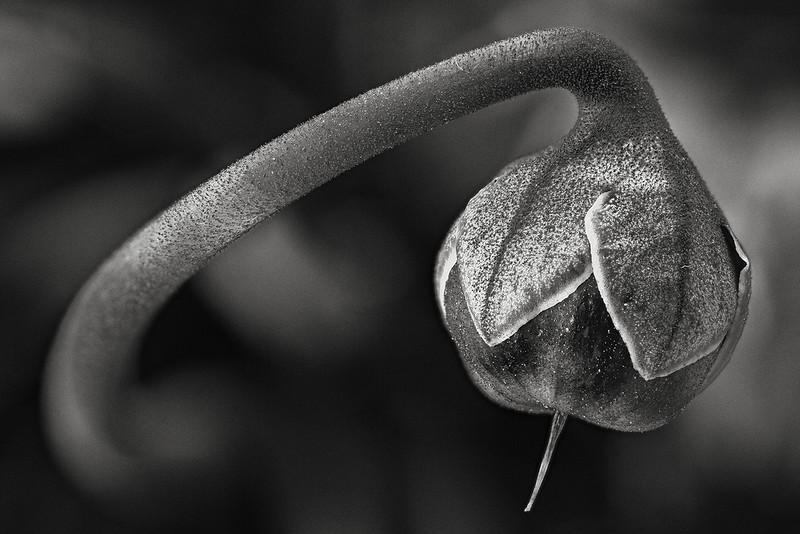 cyclamen-bud.jpg
