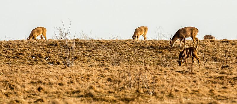 Deer on the Coast at Sachuest!