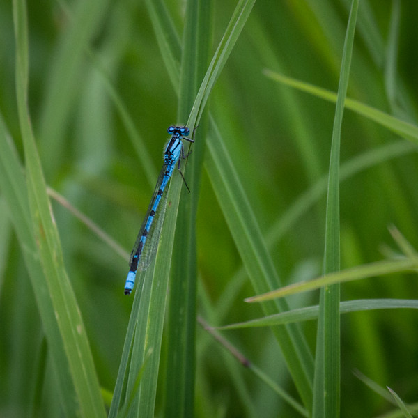 Common Blue Damselfly M
