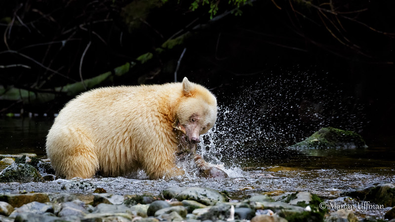 20150930-369A5744Spirit-Bears-British-Columbia - Copy.jpg