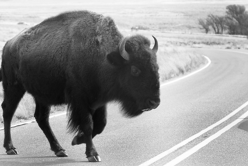 Fun fact: bison instinctively know they ALWAYS have the right of way!  Taken through my windshield.